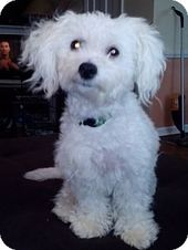 Cleveland Oh Maltese Poodle Miniature Mix Meet Dewey A Dog