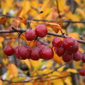 Malus Red Sentinel – Holzapfelbaum   – carols garden