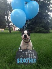 Gender reveal with dog Devin Faul I so wanna do this with Baxter Wenn ich schwan…
