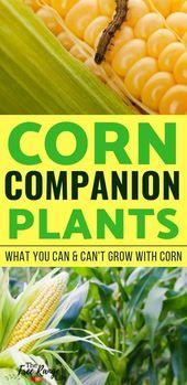 The best corn companion plants for your vegetable garden  – Ideen für Gemüse gärten
