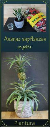 Ananas anpflanzen: Anleitung & Tipps zum Anbau – Plantura   – Garten