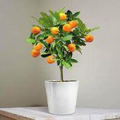 Mini Orangenbaum 25cm – 1 Baum Jetzt online bestellen   – Decorations