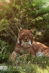 Caracal, Wonderful and Unique Feline as a Pet