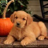 Golden Retriever Puppies For Sale   – Puppies