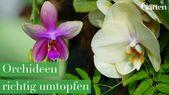Orchideen richtig umtopfen