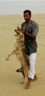 شاهد شاب يتمكن من الإمساك بذئب بعدما قـتل اثنين من أغنامه بالليث تمكن شاب من الإمساك بذئب شرق محافظة الليث بمنطقة مكة المكرمة بعدما Animals Kangaroo