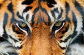Brewster DM608 – Tiger