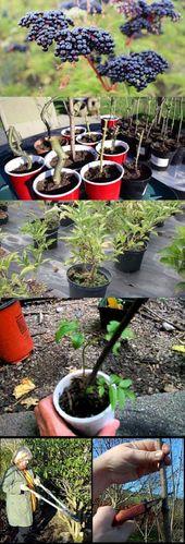 Wie man Holunder anpflanzt Holunder-Pflege von Holunder – Container Gartenarbeit