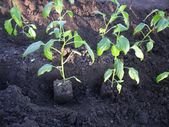 Photo of Newl Pepper in the garden. Description, growing …