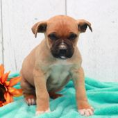 Boerboel Puppy For Sale In Gap Pa Adn 72091 On Puppyfinder Com Gender Female Age 8 Weeks Old Puppies For Sale Puppies French Bulldog