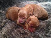 Australian Labradoodle Puppies – Daisy Hill Australian Labradoodles – Available …   – Puppies Cutest