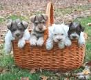 Mini Schnauzer Puppies For Adoption In Richmond Va Google Search Mini Schnauzer Puppies Schnauzer Puppy Puppies