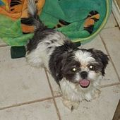 Pictures Of Morgan A Shih Tzu For Adoption In Lincoln Ne Who