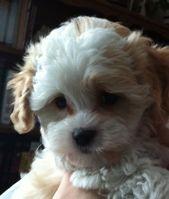 ♥ Cavachon Puppy  Larry ♥  – Cute dogs – #Cavachon #cute #Dogs #Larry #puppy   – Puppies Cutest