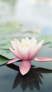 Pobieranie Tapety Na Telefon Kwiat Lotosu Hd Lotus Flower Wallpaper Flower Iphone Wallpaper Ios 7 Wallpaper