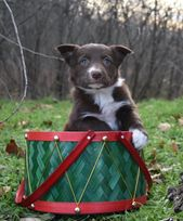 Border Collie puppies are beautiful and smart. #BorderCollie  – Border Collie