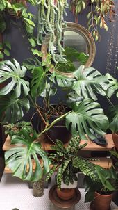 Monstera plant care and propagation
