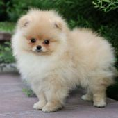 Cutest Pomeranian Puppy…. …..Do you love cute dogs like this, Follow our #Pe…