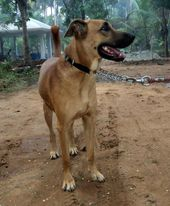 Combai Indian Bear Hound Dog Kombai Best Dogs For Families