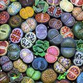 500 pcs/ bag Exotic Mini Succulent Cactus Rare Succulent Perennial Herb Plants Bonsai Pot Flower Indoor for Garden Flore Pot