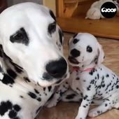 Needy Dalmatian Puppy Wants Attention From Mother