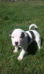 American Bulldog Australian Shepherd Mix Puppy For Sale In Delta Oh Adn 27825 On Puppyfinder Com Gender Male Age American Bulldog Bulldog Puppies For Sale