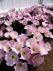 Rozowy Dlugo Kwitnacy Wiesiolek Okazaly Niezawodny 7148670733 Oficjalne Archiwum Allegro Dream Garden Plants Garden