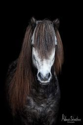 Island Horse Islander By Melanie Sebastian Photography Tierf Island Pferd Islander By Melanie Sebastian Photography T Beautiful Horses Horses Island Horse