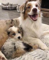 Todo sobre los exuberantes perros y niños pastores australianos #australianshep …   – Hunde