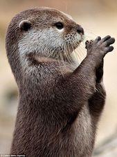 """Lieber Gott, bitte bring mir einen Fisch! Otter schaut zum Himmel und """"betet für Nahrung"""" – Kelly Blog"""