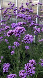 Schon Verbena Bonariensis Violetta Blumen Fur Garten Pflanzen Winterharte Blumen