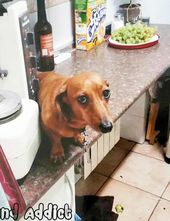 Guilty Dachshunds Weenie Dogs Sausage Dog Dachshund Love Dachshund Puppies Wiener Dog Weiner Dog Doxie Guilty Dog Dachshund Facts Dachshund Puppies