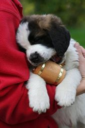 Purchase Our Well Socialized Saint Bernard Puppies For Sale St
