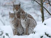 large wild cats | Wallpapers Live Chat Liveperson Big Wild Cats Wallpaper More P… – Luchs lynx