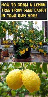 Wie man einen Zitronenbaum aus Samen leicht in seinem eigenen Zuhause wachsen lässt