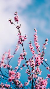 13 Gorgeous Spring Blossom iPhone Wallpapers – #background #BLOSSOM #Gorgeous #I…