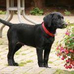 Labrador Schwarz Ihr Ratgeber Fur Die Schwarzen Labradore Schwarzer Labrador Labrador Schwarzer Labrador Welpen
