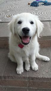 Bailey Boo our English Golden Retriever.   – Happiness