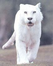 A Z Liste Von 125 Seltenen Albino Tieren Pics Lions Lowen Der