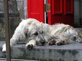 Items similar to IRISH Wolfhound, Ballyseede Castle, Tralee , Co. Kerry, IRELAND Photo, Mr. Higgins, Wolfie,Dog Photography,Kingdom,Beast,RED Door,Wolf Hound on Etsy