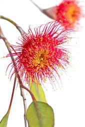 Eucalyptus Flower Red Flowering Gum Tree Australian Native