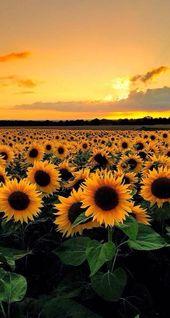 Fond d'écran couché de soleil avec champs de fleurs 🌻