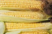 An ear of corn. harvest. natural product. – Stock …