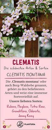 Clematisarten und -sorten: Winterharte & besondere Sorten (Übersicht