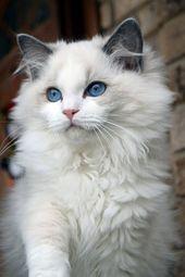 Ragdoll – Katzen – #