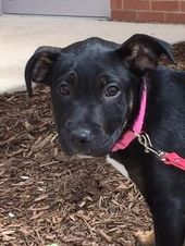 Adopt Brandy On Rottweiler Mix Rottweiler Rescue Dogs
