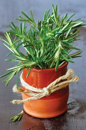 What S Wrong With My Herbs How To Grow Rosemary Grow Herb Companion Growing Rosemary Rosemary Plant Growing Herbs Indoors