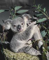 1977 – Koala Joey, arrière-gardien Keepers – #australian #HandRear #Joey #Keepers #Koal …   – Inspiration