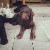 View Ad Details: ADN-66621. Labradoodle puppies  – Dogs and cats
