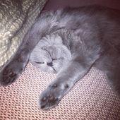 #bkh #bsh #britishshorthair #britischkurzhaar #cat #cats – Sweetie